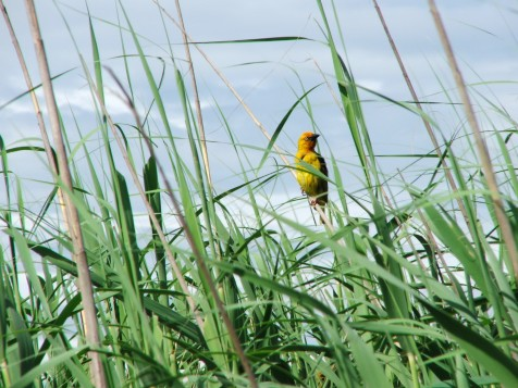 Cape and Yellow weavers were seen in this reedbed
