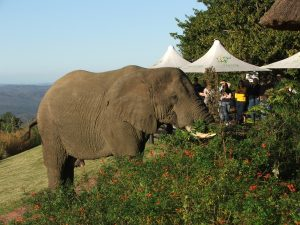 Hilltop_elephant outside restaurant
