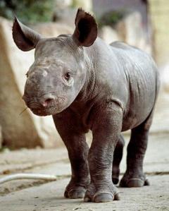Black rhino - photoby#DAA37