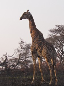 """Male Giraffe with an interesting """"bump"""" on his forehead!"""