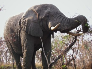 Early evening encounter with an Elephant