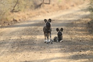 Part of an African WIld Dog pack