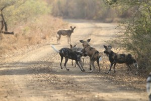 A siting of one the Hluhluwe Wild dog pack