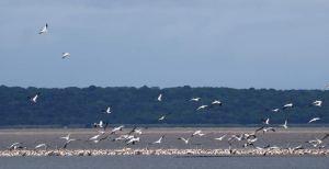 Pinkbacked Pelicans