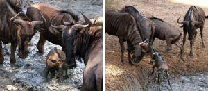 Wildebees3